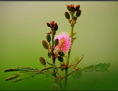 Hoa trinh nu